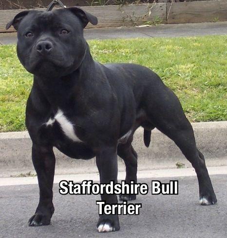 ピットブルというスタッフィーによく似た危険犬種もいますが、ピットブルはさらに攻撃的な性格です。