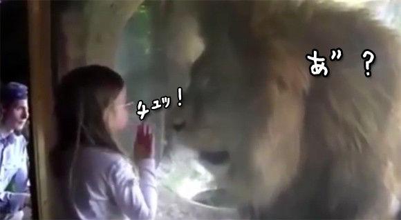ガラス越しにライオンにキスをした女の子に対するライオンの反応