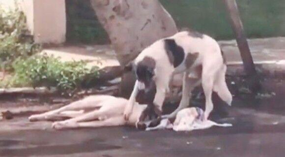 車にぶつかり動けなくなった犬を一晩中励まし続けた仲間の犬、病院にも付き添い治療中もずっと離れず(ブラジル)