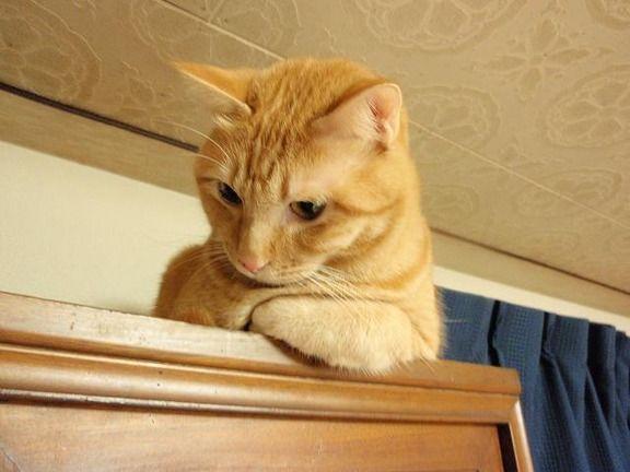 【悲報】ワイ家の猫、タンスに上り降りられなくなる