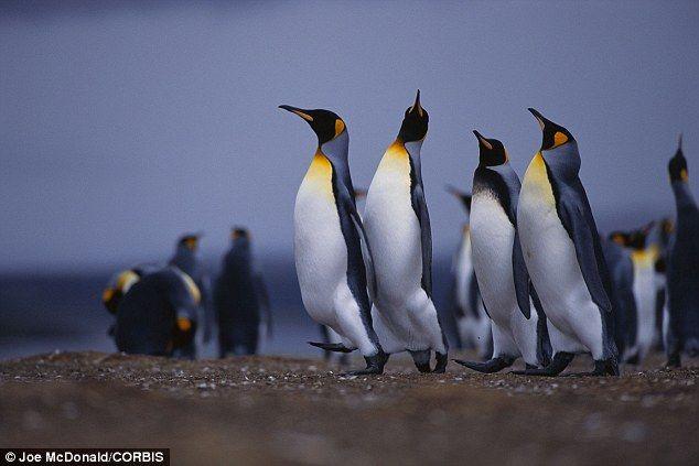 【悲報】ペンギンは海で魚を捕りすぎると、帰り道で転びやすくなり捕食者に喰われる・・・ 最新の研究で明らかに