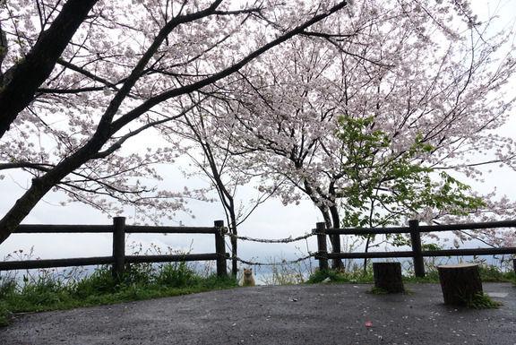 【至福の時間】 桜とネッコ撮ってきたンゴ1