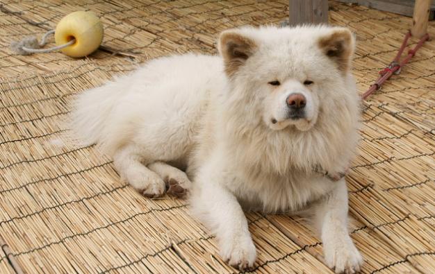 attyrjj もふもふが可愛い、日本一有名なブサカワ犬ですよね( ´∀` )そのわさお...