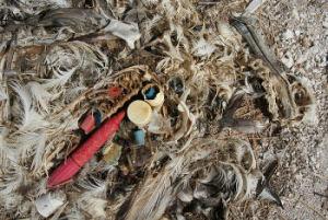 プラスチックで窒息死したコアホウドリのヒナ。(This image is in the public domain.)