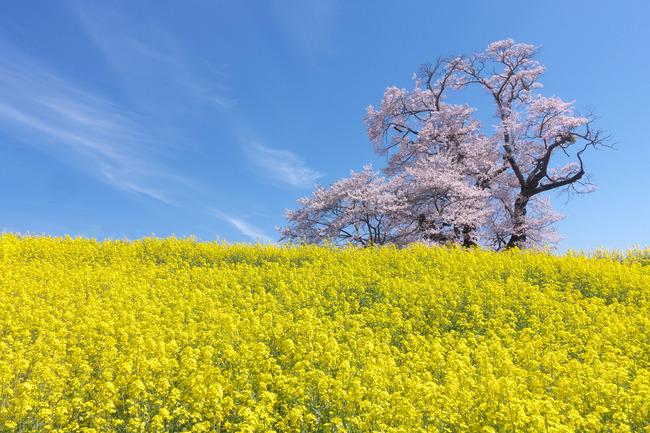 三春町桜めぐり-017