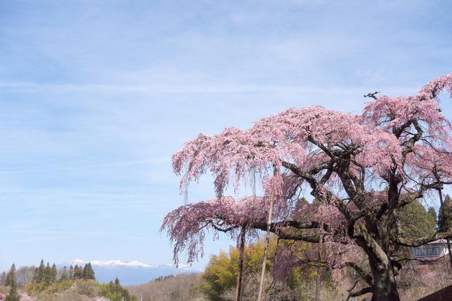 三春町桜めぐり-007