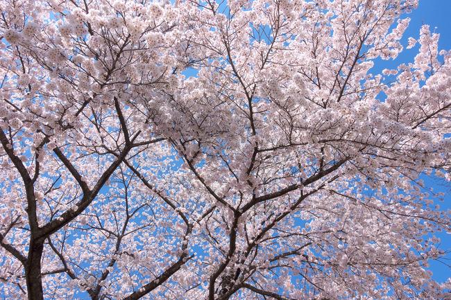 奥武蔵桜めぐり-008