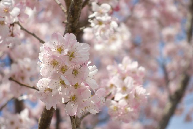 春めき桜-005