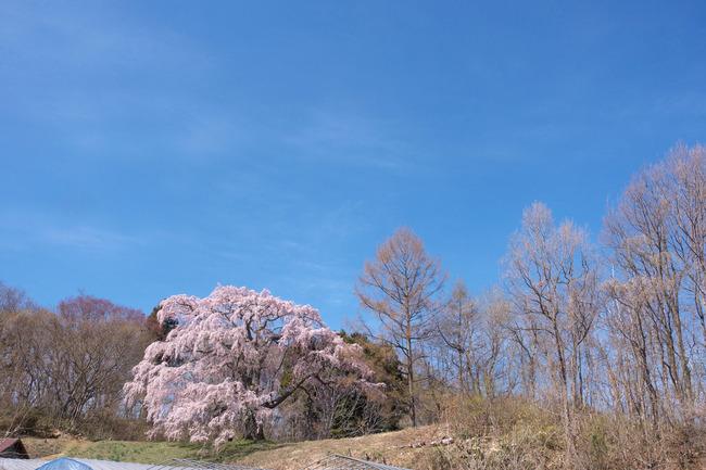 三春町桜めぐり-004