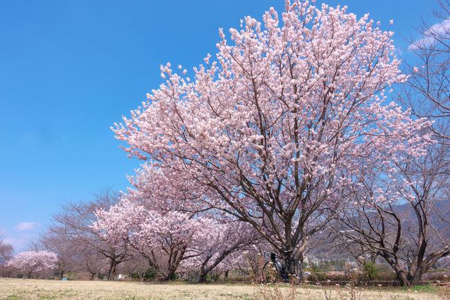 春めき桜-007