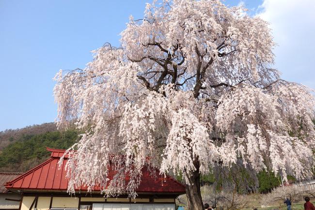高山村しだれ桜-008