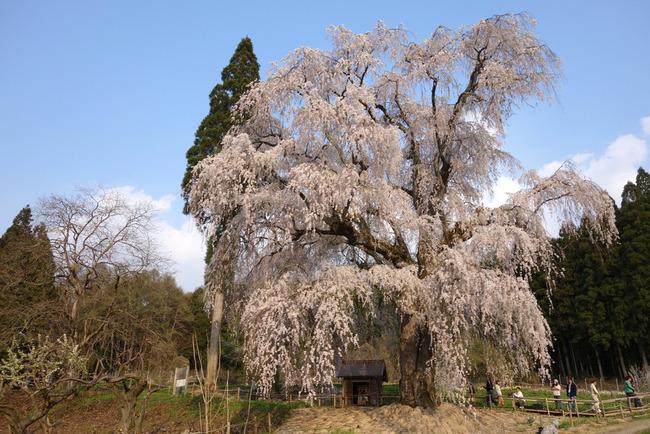 高山村しだれ桜-015