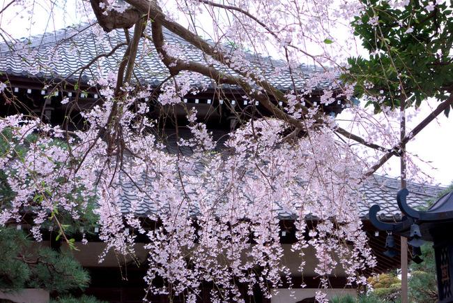 鎌倉桜-002