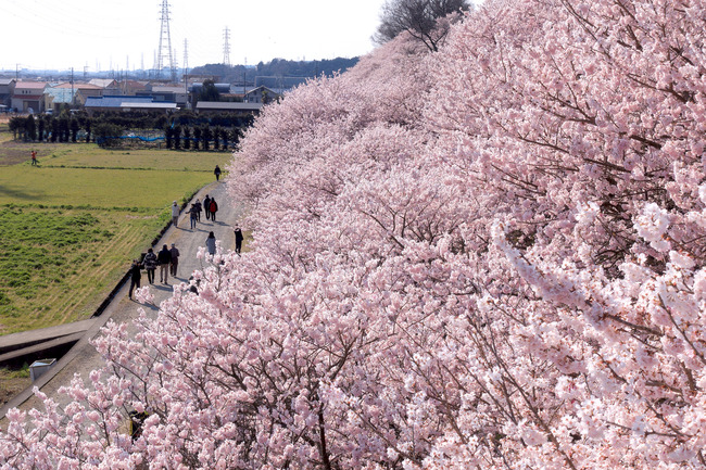 春めき桜-002