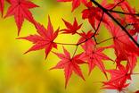 山中湖紅葉まつり-001
