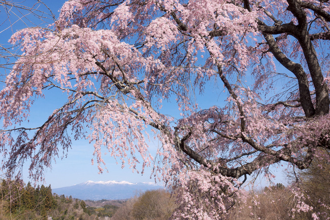 三春町桜めぐり-006
