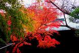 鎌倉紅葉-005
