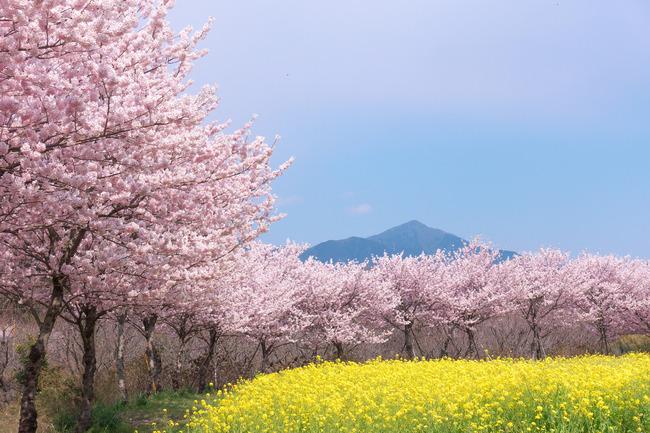 春めき桜-011