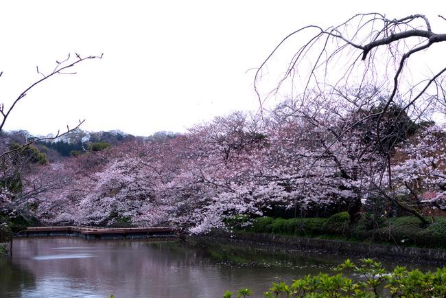 鎌倉桜-001
