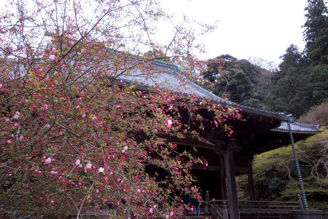 鎌倉桜-009