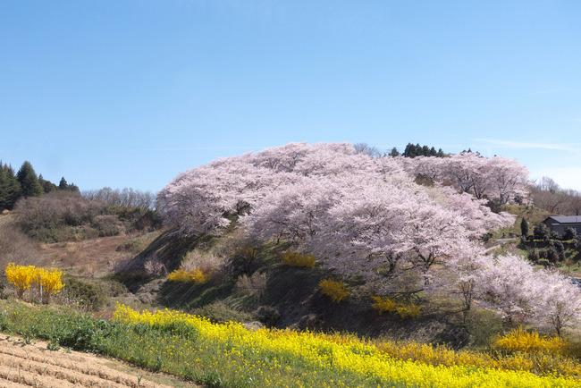 三春町桜めぐり-016