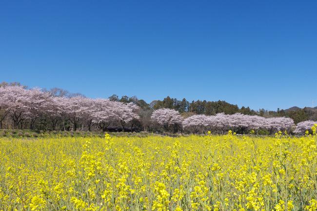 奥武蔵桜めぐり-001