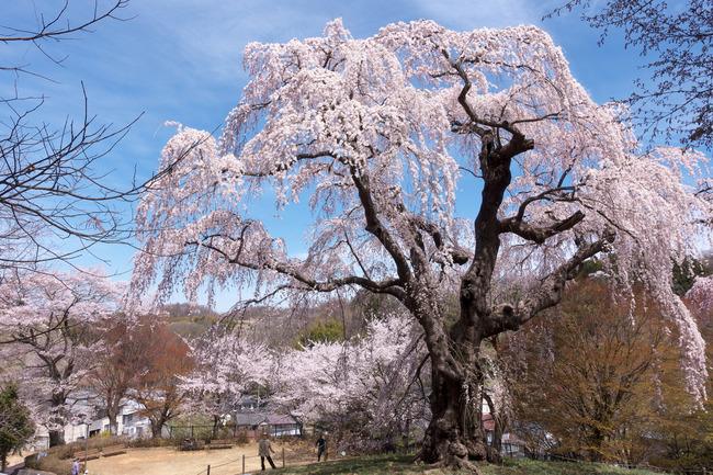 三春町桜めぐり-011