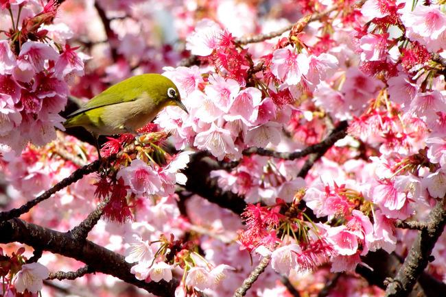 あたみ桜-003