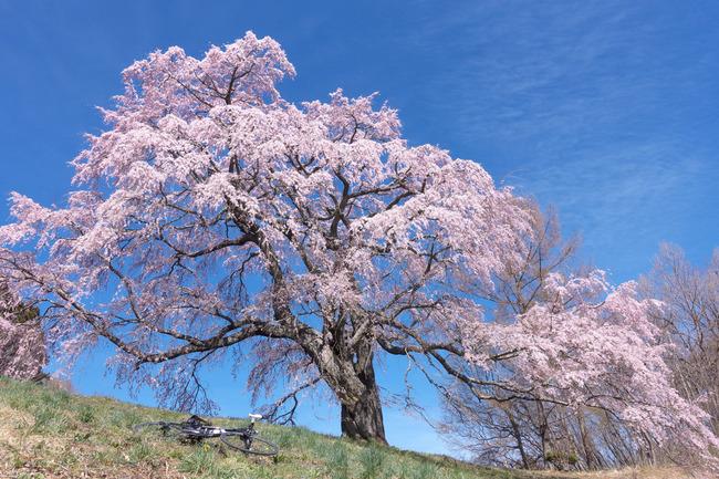 三春町桜めぐり-005