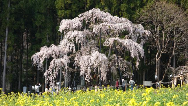 高山村しだれ桜-011