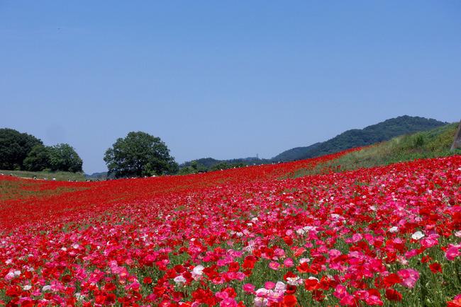 奥武蔵新緑ライド&天空のポピー-007
