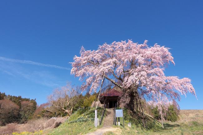 三春町桜めぐり-003