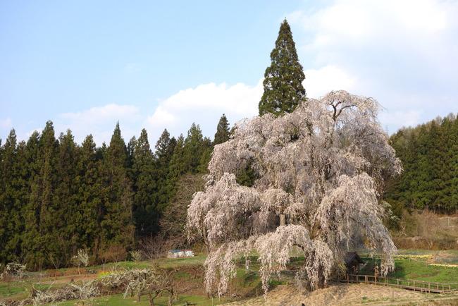 高山村しだれ桜-014