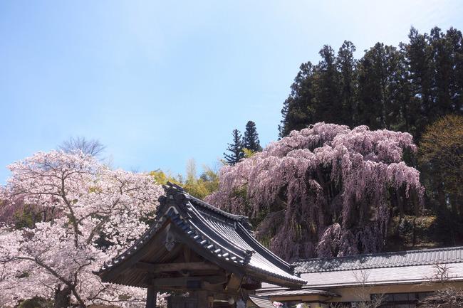 三春町桜めぐり-012