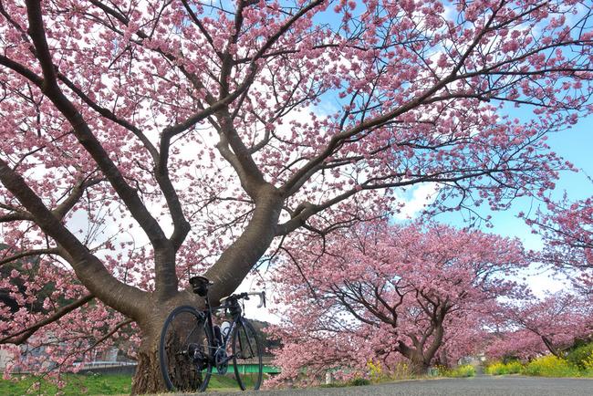 河津桜&西伊豆-004