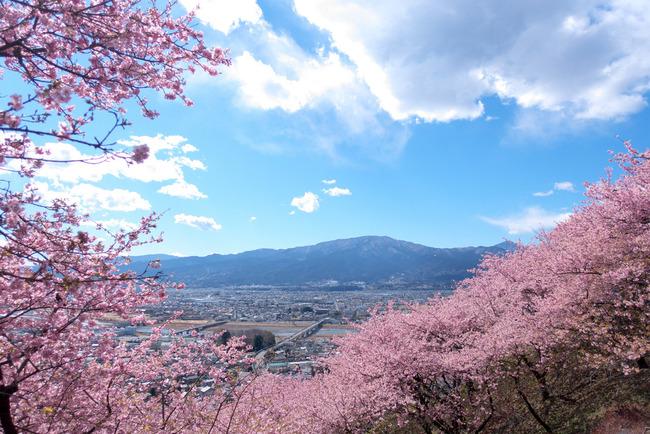 河津桜-003