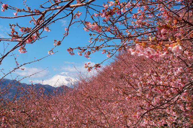 松田町河津桜