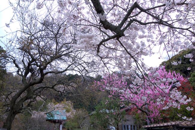 鎌倉桜-004