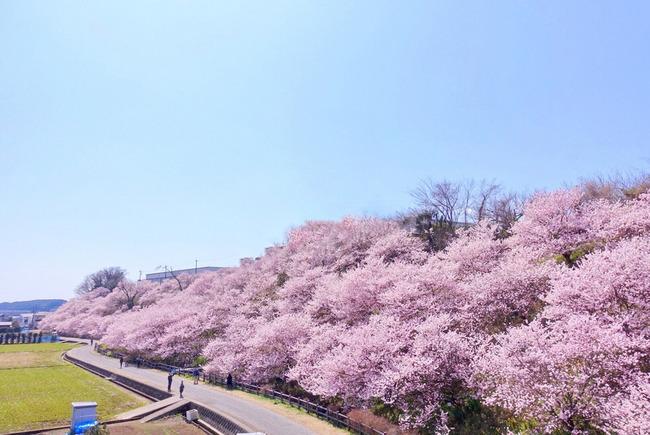 春めき桜-001