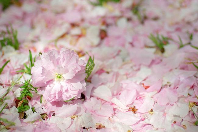桜散る-006