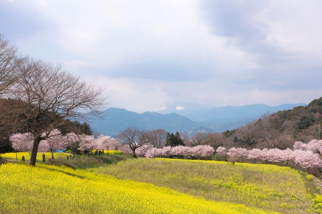 春めき桜-010