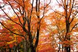 山中湖紅葉まつり-003