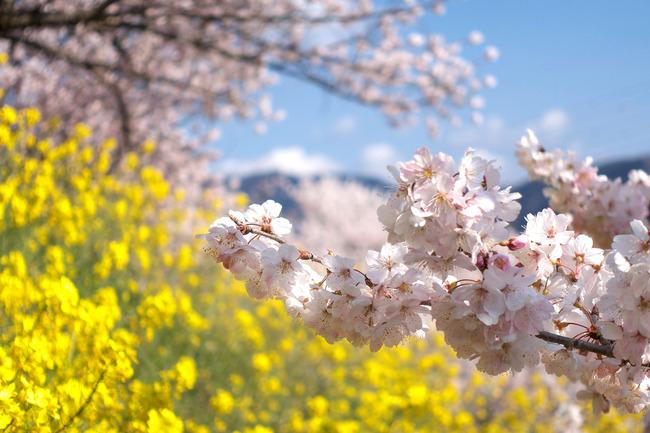 春めき桜-012