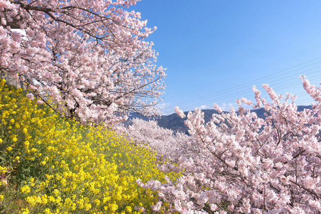 春めき桜-004