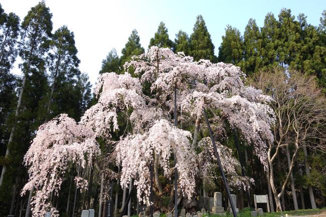 高山村しだれ桜-010