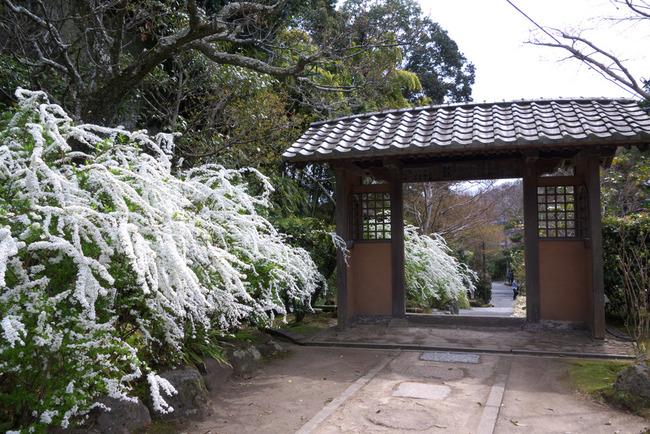 鎌倉桜-003