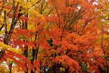 山中湖紅葉まつり-011