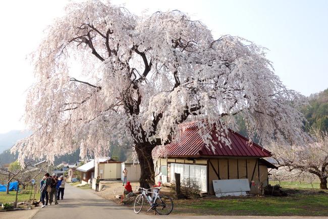 高山村しだれ桜-009