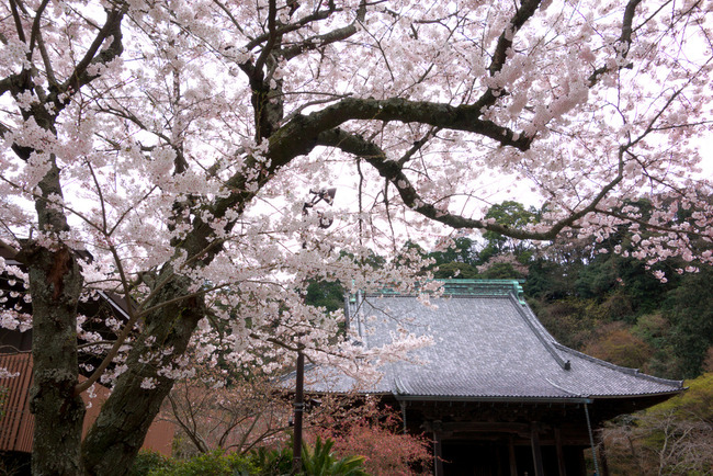 鎌倉桜-005