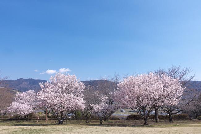 春めき桜-009